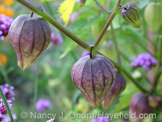 Physalis ixocarpa 'Purple De Milpa' at Hayefield.com