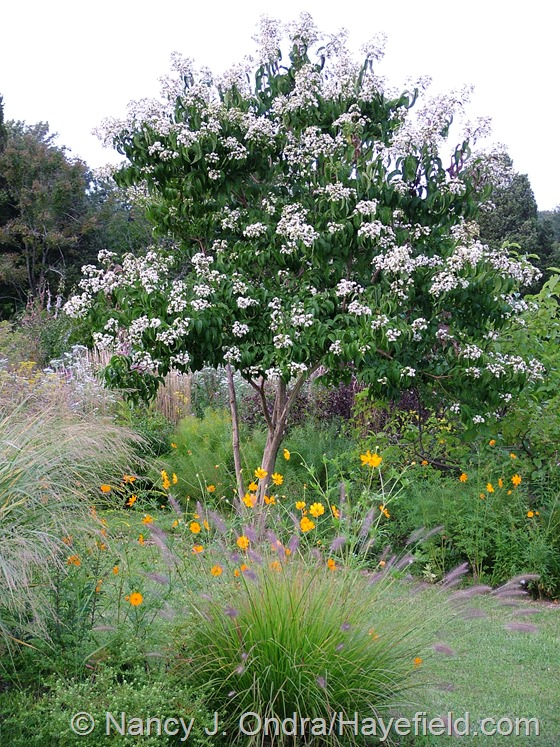 Heptacodium miconioides and Cosmos sulphureus in The Shrubbery at Hayefield.com