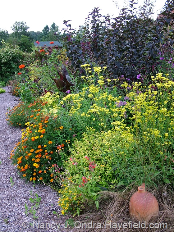 Patrinia scabiosifolia, Tagetes, and Physocarpus opulifolius 'Monlo' [Diabolo] in front garden middle path border at Hayefield.com