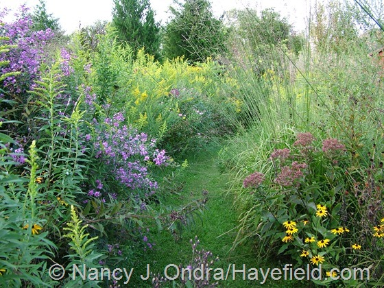 Lespedeza thunbergii, Eutrochium purpureum, Solidago, and Molinia caerulea 'Transparent' in Arc Borders at Hayefield.com