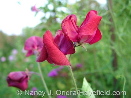Lathyrus odoratus at Hayefield.com