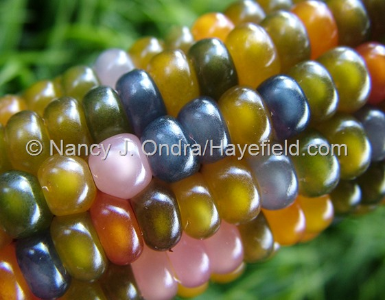 Zea mays 'Glass Gem' corn at Hayefield.com