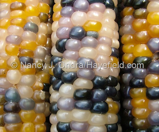 Corn 'Glass Gem' at Hayefield.com