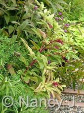 Phytolacca americana 'Silberstein' at Hayefield.com