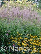 Spodiopogon sibiricus at Hayefield.com