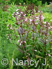 Penstemon 'Dark Towers' at Hayefield.com