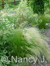 Stipa tenuissima at Hayefield.com