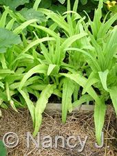Lactuca sativa var. asparagina (celtuce) at Hayefield.com