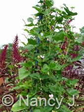 Vigna unguiculata 'Pretzel Bean' at Hayefield.com