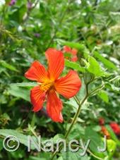Pavonia missionum at Hayefield.com