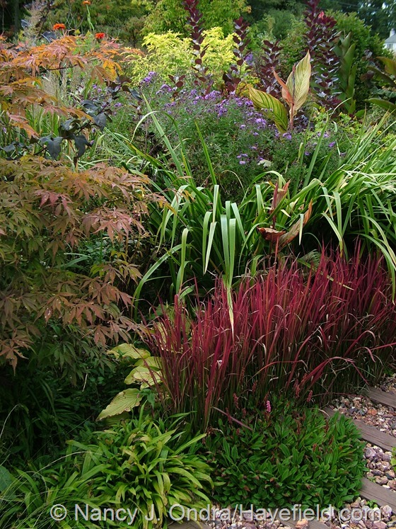 Imperata cylindrica 'Rubra' with Persicaria affinis, Carex plantaginea, Acer palmatum, Iris x robusta 'Gerald Darby', Symphyotrichum novae-angliae 'Hella Lacy', and Canna 'Phasion' [Tropicanna] at Hayefield.com