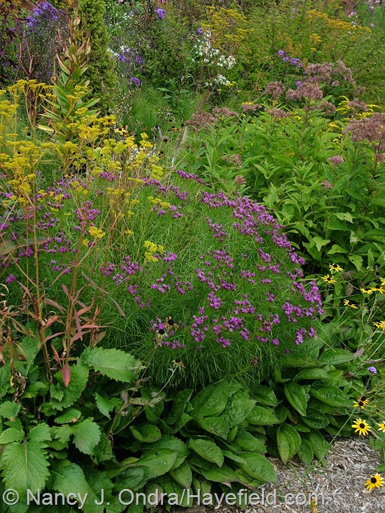 Vernonia lettermannii 'Iron Butterfly' with Patrinia scabiosifolia and the foliage of Rudbeckia fulgida var. fulgida at Hayefield.com