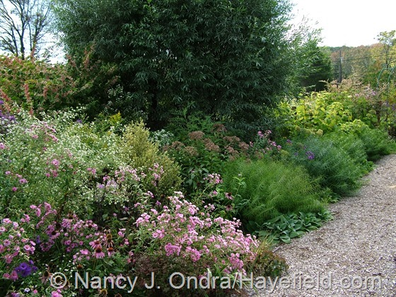 Side garden diagonal border with little white asters, Symphyotrichum novae-angliae 'Harrington's Pink' and Amsonia hybrid in front of Salix alba var. sericea at Hayefield.com