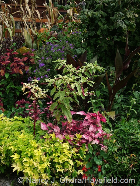 Phytolacca americana 'Silberstein' with Iresine 'Blazin' Rose', Filipendula ulmaria 'Aurea', Coleus 'Big Red Judy', Symphyotrichum novae-angliae 'Hella Lacy', and Canna 'Australia' in front garden at Hayefield.com