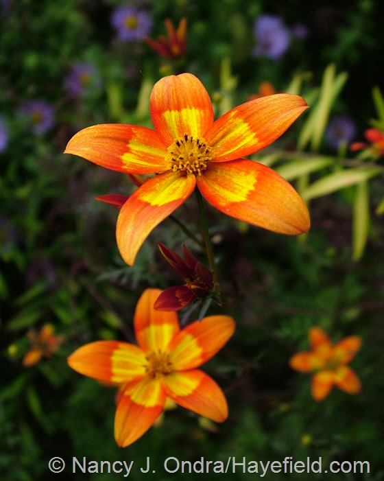 Bidens 'Hawaiian Flare Orange Drop' at Hayefield.com