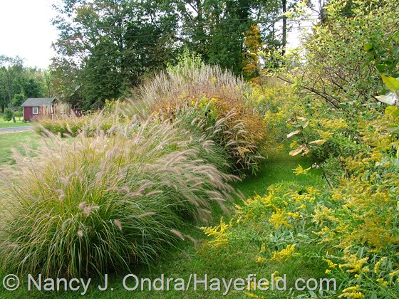 Pennisetum alopecuroides 'Cassian' and Spodiopogon sibiricus in Arc Borders at Hayefield.com