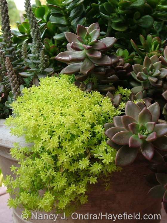 Sedum japonicum 'Tokyo Sun' with x Graptosedum 'Bronze' at Hayefield.com