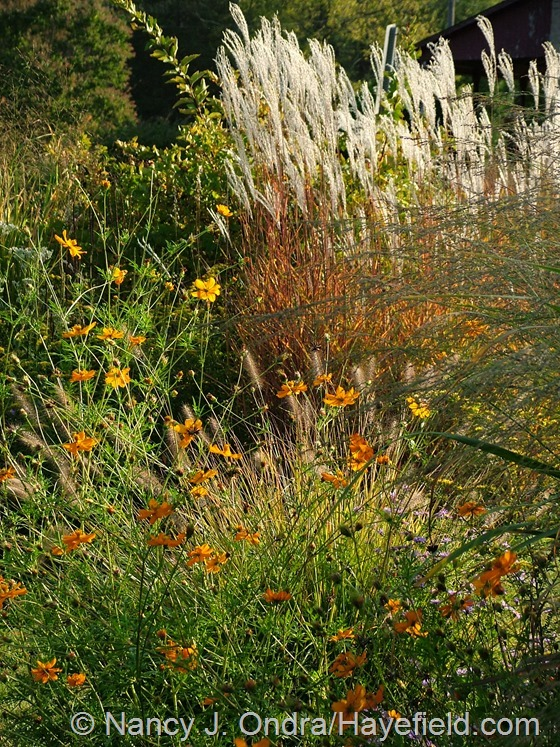 Cosmos sulphureus and Miscanthus 'Purpurascens' at Hayefield.com