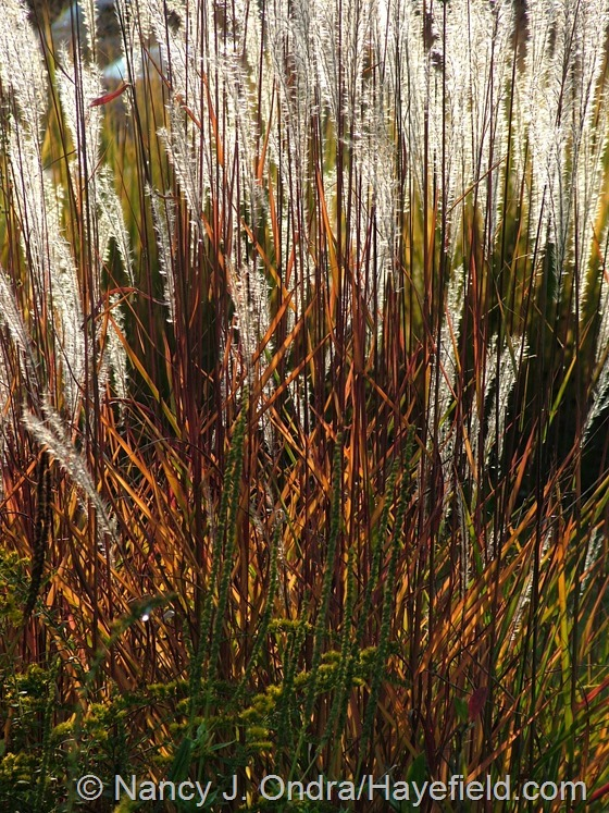 Miscanthus 'Purpurascens' at Hayefield.com