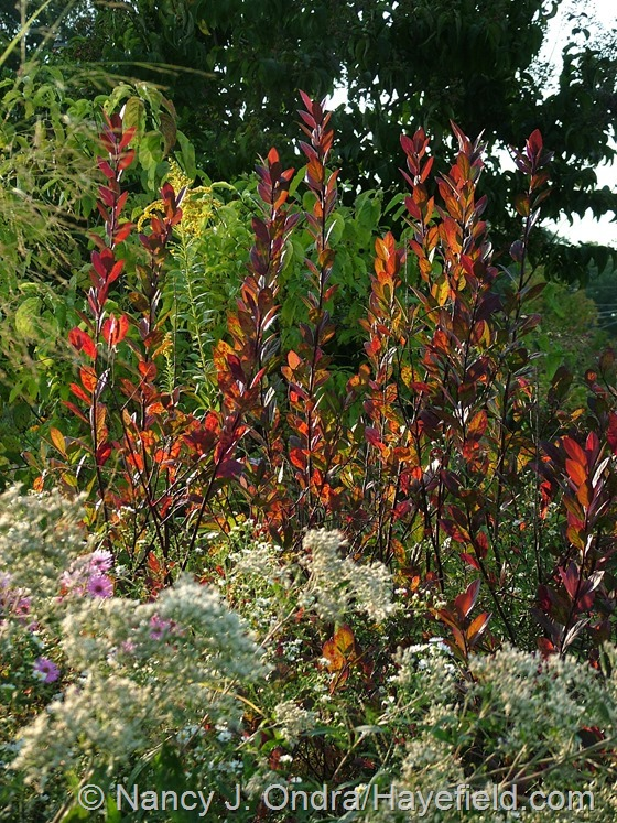Itea virginica in fall color at Hayefield.com