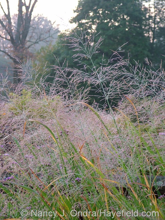 Panicum virgatum 'Dallas Blues' at Hayefield.com