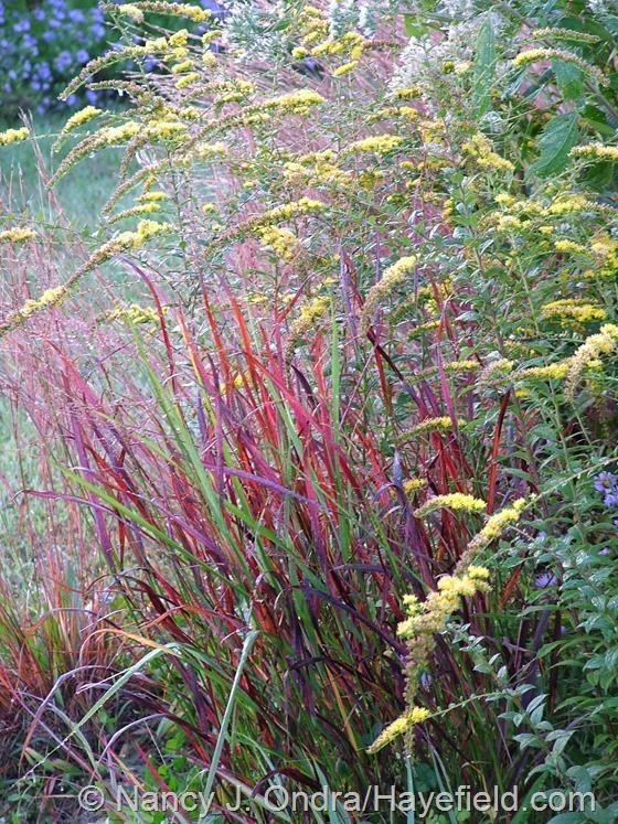 Panicum virgatum 'Cheyenne Sky' at Hayefield.com