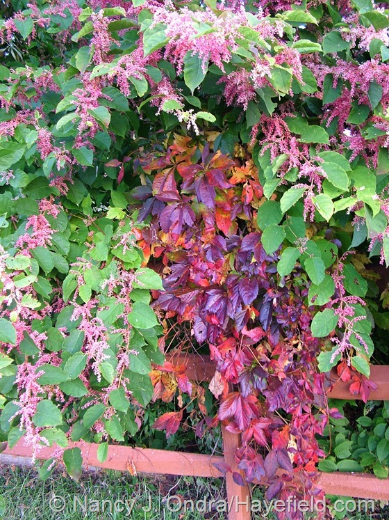 Parthenocissus quinquefolius in fall color with Persicaria 'Crimson Beauty' at Hayefield.com