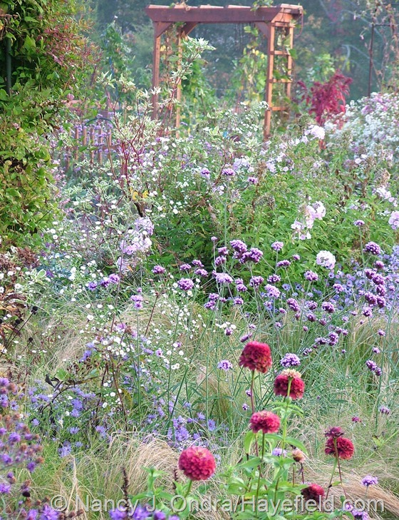 Side garden with Verbena bonariensis, Zinnia 'Queen Red Lime', and little white asters at Hayefield.com