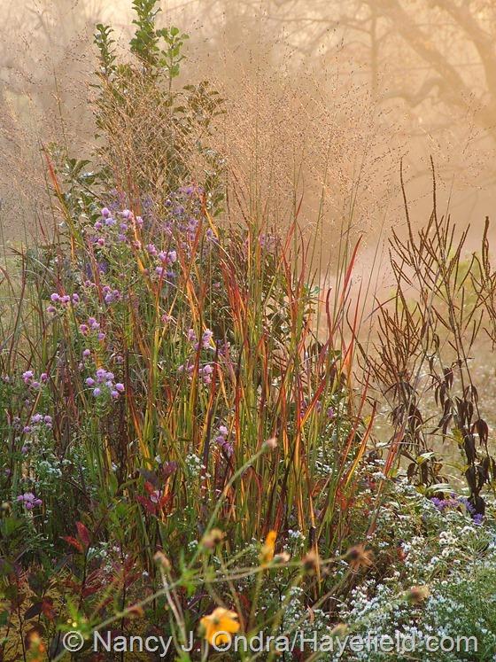 Panicum virgatum 'Huron Solstice' at Hayefield.com