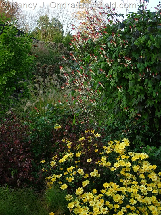 Chrysanthemum 'Harmony' with Porteranthus stipulatus, Pennisetum alopecuroides, Pennisetum alopecuroides 'Cassian', and Mina lobata at Hayefield.com