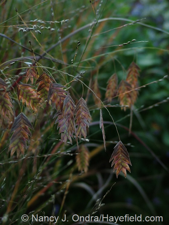 Chasmanthium latifolium wih Panicum virgatum 'Shenandoah' at Hayefield.com