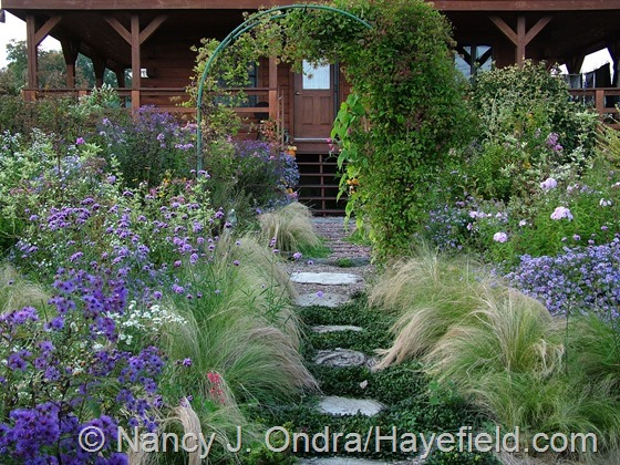 Side garden with Stipa tenuissima, Verbena bonariensis, Symphyotrichum novae-angliae 'Hella Lacey', and Symphyotrichum oblongifolium at Hayefield.com
