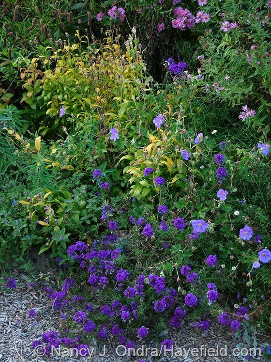 Platycodon grandiflorus 'Axminster Streaked' in fall color  with Geranium 'Jolly Bee' and Verbena 'Imagination' at Hayefield.com