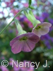 "Nicotiana ""Pink Mutabilis"" at Hayefield.com"