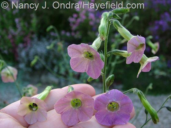 Nicotiana 'Mutabilis' variant at Hayefield.com