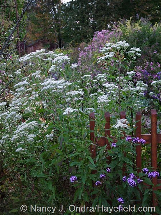 Ageratina aromatica at Hayefield.com