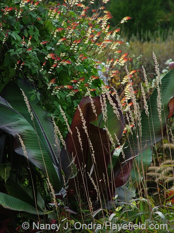 Spodiopogon sibiricus with Ensete ventricosum 'Maurelii' and Mina lobata at Hayefield.com