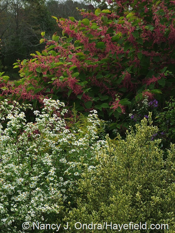 Symphyotrichum ericoides with Buxus sempervirens 'Elegantissima' and Persicaria 'Crimson Beauty' at Hayefield.com