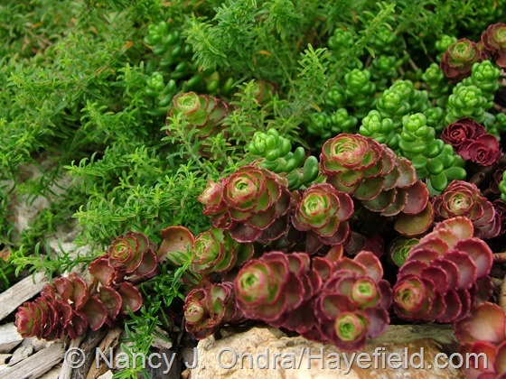 Sedum spurium 'Elizabeth' and Sedum oreganum with Satureja montana subsp. illyrica at Hayefield.com
