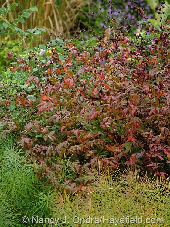 Porteranthus stipulatus in fall color at Hayefield.com