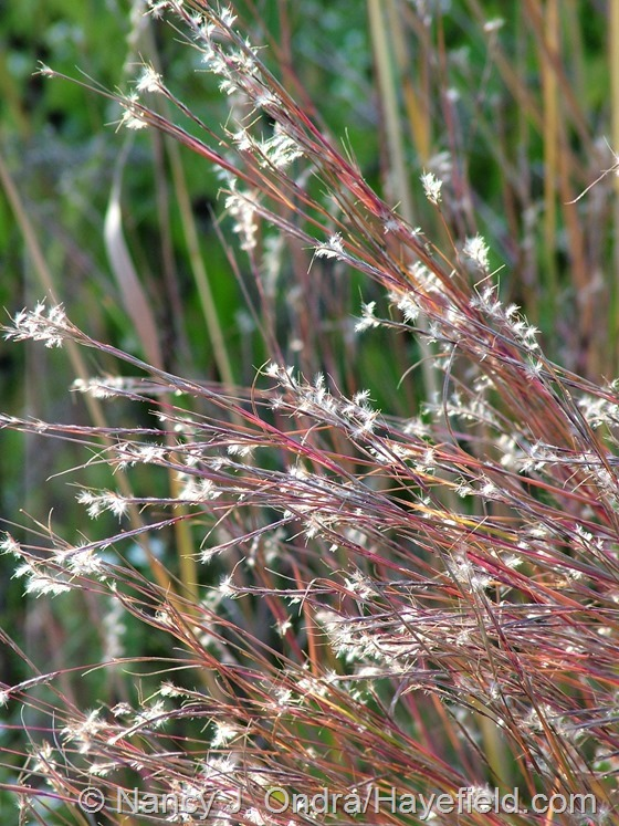Schizachyrium scoparium at Hayefield.com