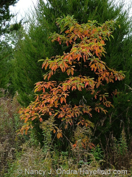 Sassafras albidum in fall color at Hayefield.com