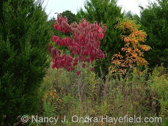 Cornus florida in fall color at Hayefield.com