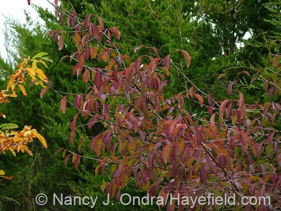 Viburnum prunifolium in fall color at Hayefield.com
