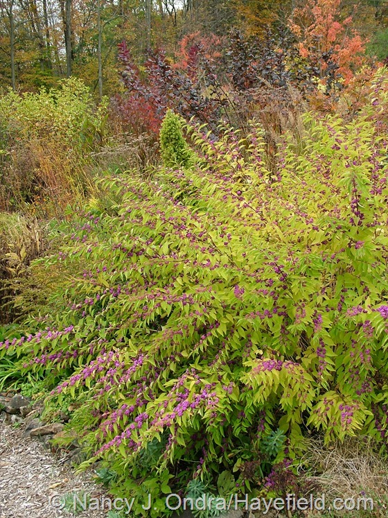 Callicarpa dichotoma 'Issai' in fall color at Hayefield.com