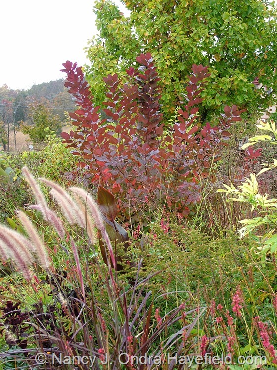 Cornus 'Grace' with Pennisetum setaceum 'Rubrum' at Hayefield.com