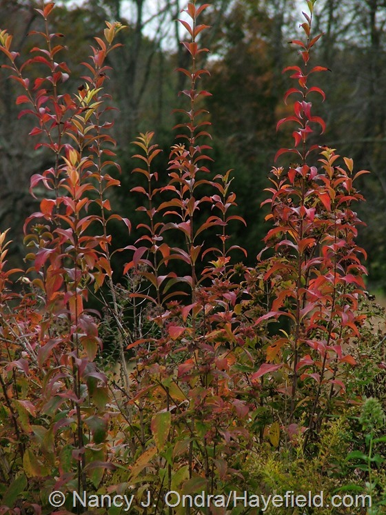 Abelia mosanensis in fall color at Hayefield.com