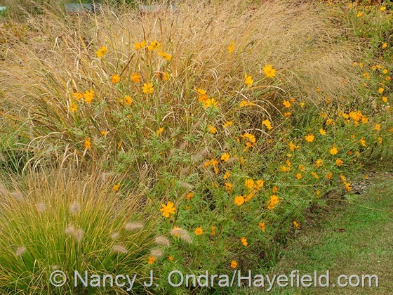Panicum amarum 'Dewey Blue' with Pennisetum alopecuroides 'Cassian and Cosmos sulphureus at Hayefield.com