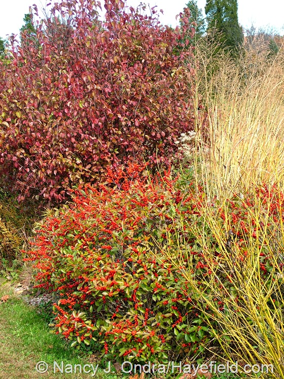 Viburnum dentata 'Christom' [Blue Muffin] with Ilex verticillata 'Nana' [Red Sprite', Panicum virgatum 'Northwind', and Cornus sericea 'Bud's Yellow' at Hayefield.com