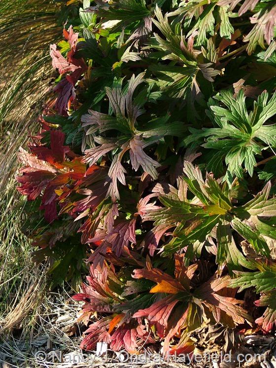 Geranium 'Brookside' fall color at Hayefield.com